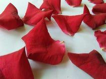 Bello petalo di rosa rossa Immagine Stock Libera da Diritti