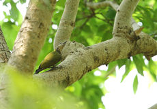 Bello picchio cenerino su un albero Immagini Stock Libere da Diritti