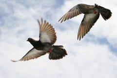 Bello piccione grigio durante il volo Immagini Stock Libere da Diritti