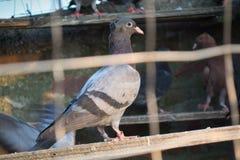 Bello piccione per concorrenza Immagine Stock