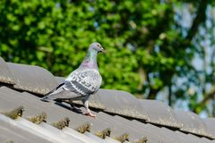 Bello piccione viaggiatore sulla cresta del tetto fotografia stock libera da diritti