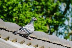 Bello piccione viaggiatore sulla cresta del tetto immagine stock libera da diritti