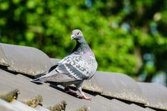 Bello piccione viaggiatore sulla cresta del tetto immagini stock libere da diritti