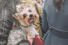 Bello piccolo cane dai capelli lunghi che appende in una borsa scura nel negozio che aspetta il padrone un giorno soleggiato fotografie stock
