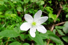Bello piccolo fiore bianco Fotografia Stock