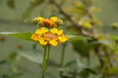 Bello piccolo fiore giallo del giardino Fotografie Stock Libere da Diritti