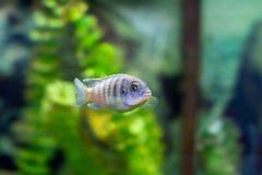 Bello piccolo pesce dell'acquario fotografia stock