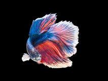 Bello piccolo pesce di betta del Siam del primo piano con il fondo dell'isolato Fotografia Stock Libera da Diritti