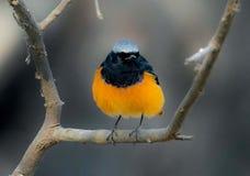 Bello piccolo uccello Immagini Stock Libere da Diritti