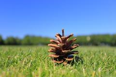 Bello pinecone Fotografia Stock Libera da Diritti