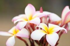 Bello plumeria rosa-chiaro Fotografie Stock