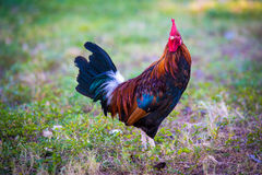 Bello pollo di Key West Immagini Stock