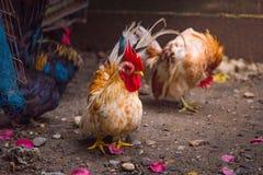 Bello pollo in giardino Fotografia Stock