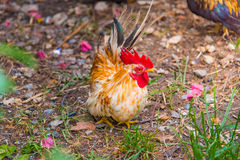 Bello pollo in giardino Fotografie Stock