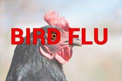 Bello pollo, primo piano, concetto di INFLUENZA AVIARIA del segno di pollame La minaccia di influenza aviaria e della malattia fr Fotografia Stock