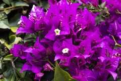 Bello porpora, rosa e fiori gialli della pianta della buganvillea su un fondo delle foglie Arbusto riccio sempreverde fotografia stock libera da diritti