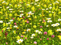 Bello prato del fiore Fotografia Stock Libera da Diritti