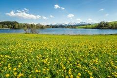Bello prato del fiore al lago alpino ed alle montagne innevate Fotografia Stock Libera da Diritti