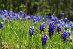 Bello prato sbocciante con i fiori viola Immagini Stock Libere da Diritti