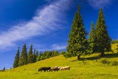 Bello prato soleggiato con il pascolo delle pecore Fotografie Stock Libere da Diritti