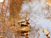 Bello prende il sole la tartaruga della tartaruga Immagine Stock