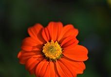 Bello primo piano arancione del fiore della margherita Fotografie Stock