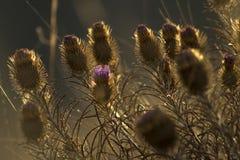 Bello primo piano asciutto della bardana Fiore viola del cardo selvatico fotografia stock libera da diritti