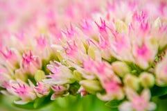 Bello primo piano da un achillea millefolium Fotografia Stock