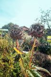 Bello primo piano dei cardi selvatici sbiaditi nel giardino di autunno Fotografie Stock Libere da Diritti