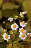 Bello primo piano dei fiori della camomilla di guarigione fotografia stock libera da diritti