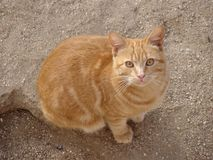Bello primo piano del gatto dello zenzero Immagini Stock