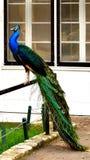Bello primo piano del pavone fotografia stock