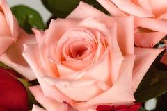 Bello primo piano della rosa di rosa Fotografia Stock