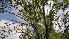 Bello primo piano delle foglie verdi dell'albero stanno ondeggiando nel vento archivi video