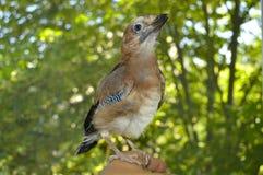Bello primo piano di ghiandaia dell'uccello immagini stock libere da diritti