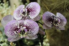Bello primo piano esotico dei fiori in giardino di inverno Immagine Stock Libera da Diritti