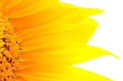 Bello primo piano giallo dei petali del girasole Fotografia Stock