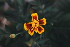 Bello primo piano giallo del colpo del fiore fotografia stock