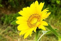 Bello primo piano giallo del girasole Fotografia Stock Libera da Diritti