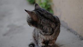 Bello primo piano grigio fresco del gatto dell'iarda r stock footage