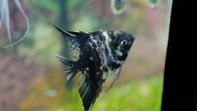 Bello primo piano nero del pesce dell'acquario video d archivio