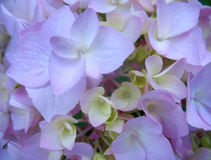 Bello primo piano porpora del fiore dell'ortensia Fotografia Stock