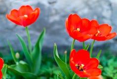 Bello primo piano rosso dei tulipani Fotografia Stock