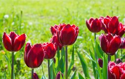Bello primo piano rosso del campo del tulipano Fotografia Stock