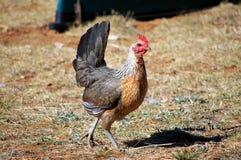 Bello Prue è cresciuto gallina americana dorata del gioco di Duckwing immagini stock libere da diritti
