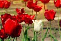 Bello punto di vista dei tulipani rossi nel giardino Un tulipano bianco fra i tulipani rossi concetto - individualità e solitudin Immagini Stock