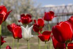 Bello punto di vista dei tulipani rossi nel giardino Un tulipano bianco fra i tulipani rossi concetto - individualità e solitudin Fotografie Stock Libere da Diritti