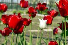 Bello punto di vista dei tulipani rossi nel giardino Un tulipano bianco fra i tulipani rossi concetto - individualità e solitudin Immagini Stock Libere da Diritti