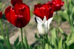 Bello punto di vista dei tulipani rossi nel giardino Un tulipano bianco fra i tulipani rossi concetto - individualità e solitudin Fotografia Stock