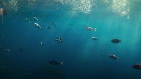 Bello punto di vista subacqueo dell'oblò dei pesci tropicali che nuotano nell'oceano blu video d archivio